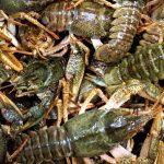 Live crayfish fresh crayfish